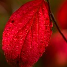 red leaf